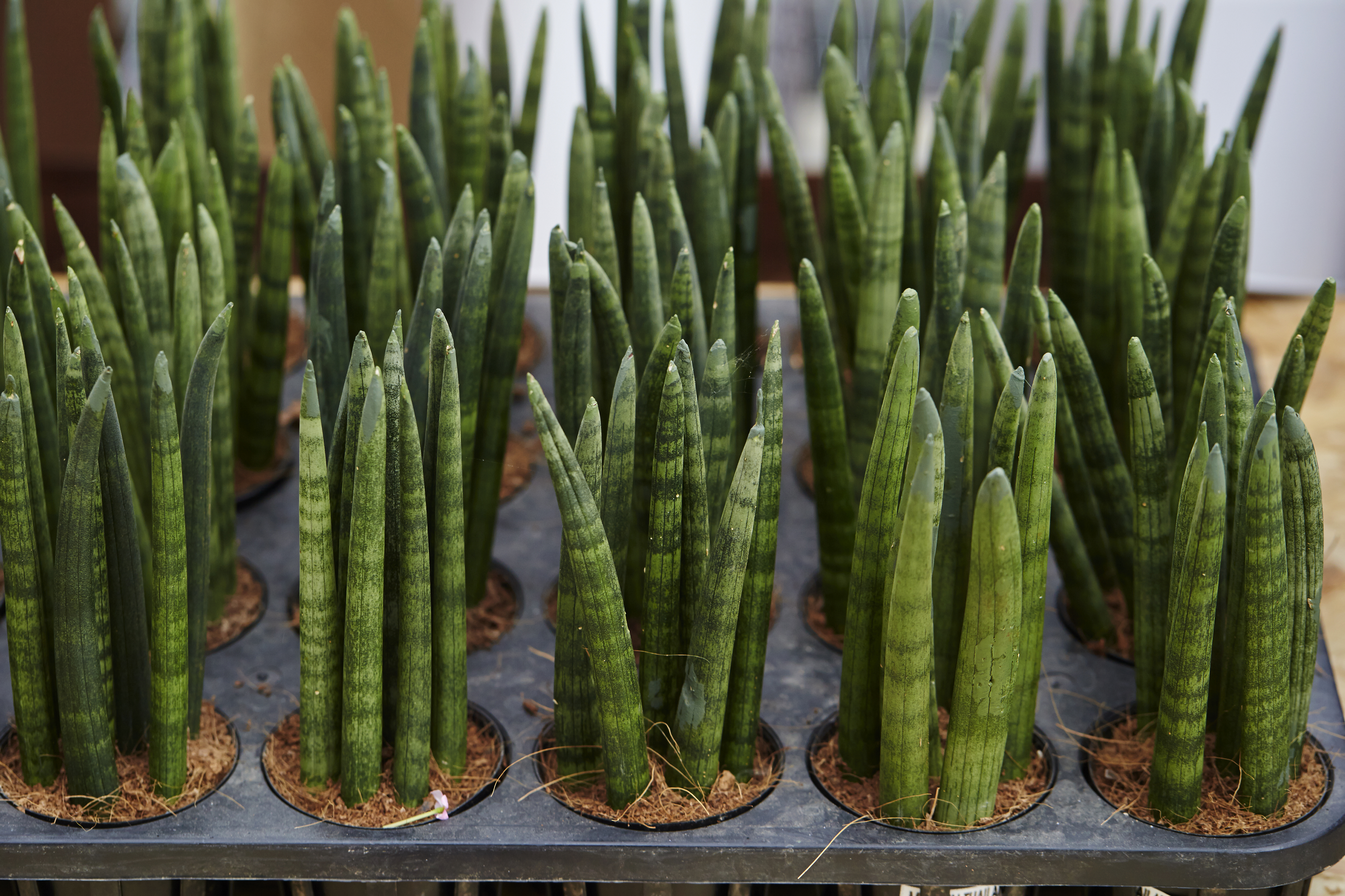Plant Recommendation A Snake Plant That Looks Like A Bunch Of Fingers