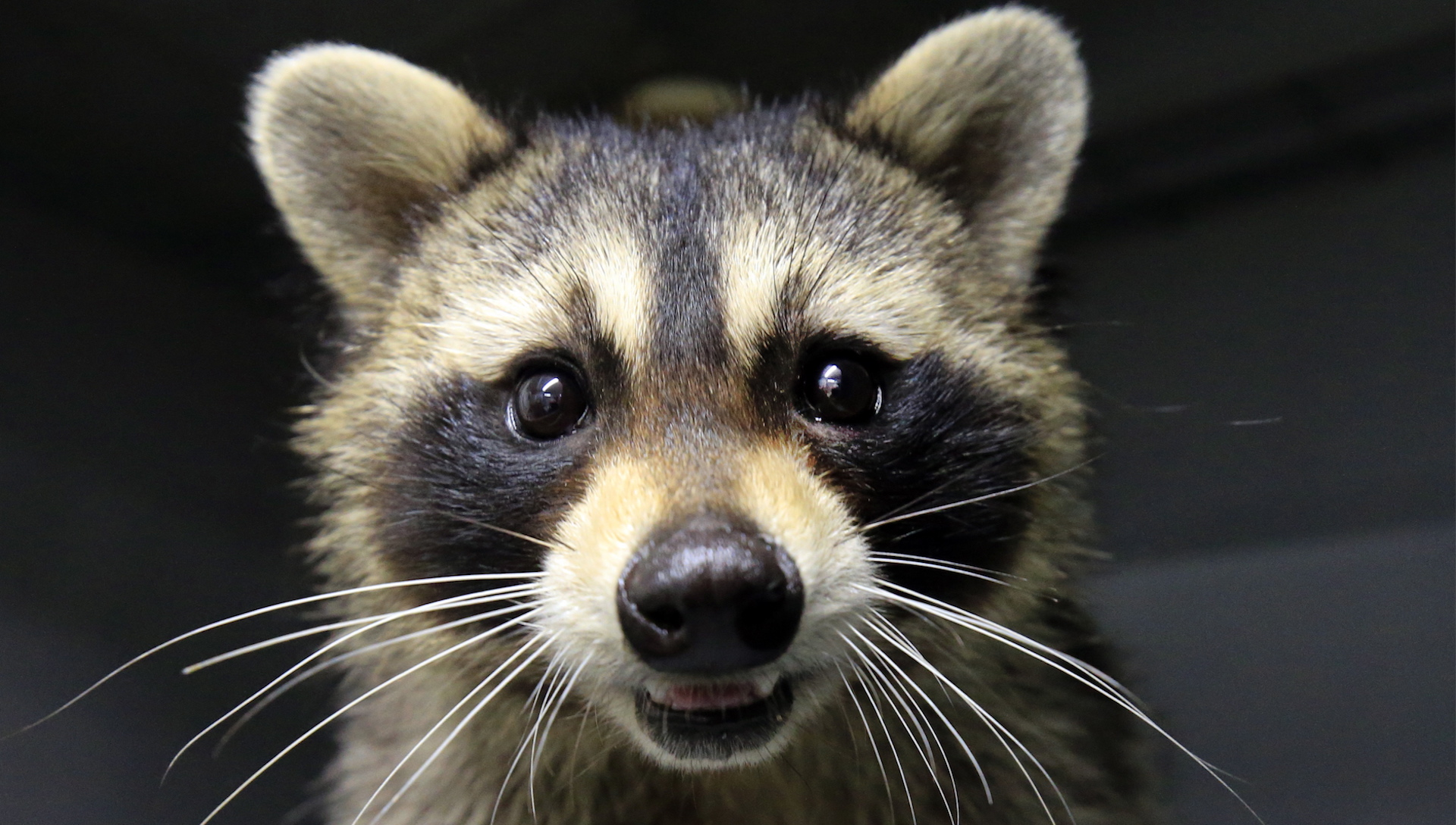 ve lil' raccoon climbs up tall building, jumps off, survives Raccoon Under Mobile Home on retirement home, websites for iowa modular home, sheetrock installation home,